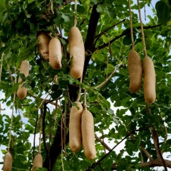 Sausage Tree Seeds (Kigelia pinnata) 2.049999 - 13