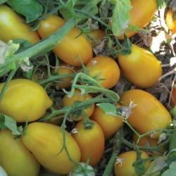 Graines de Tomate Mini San Marzano Jaune et rouge 1.95 - 5