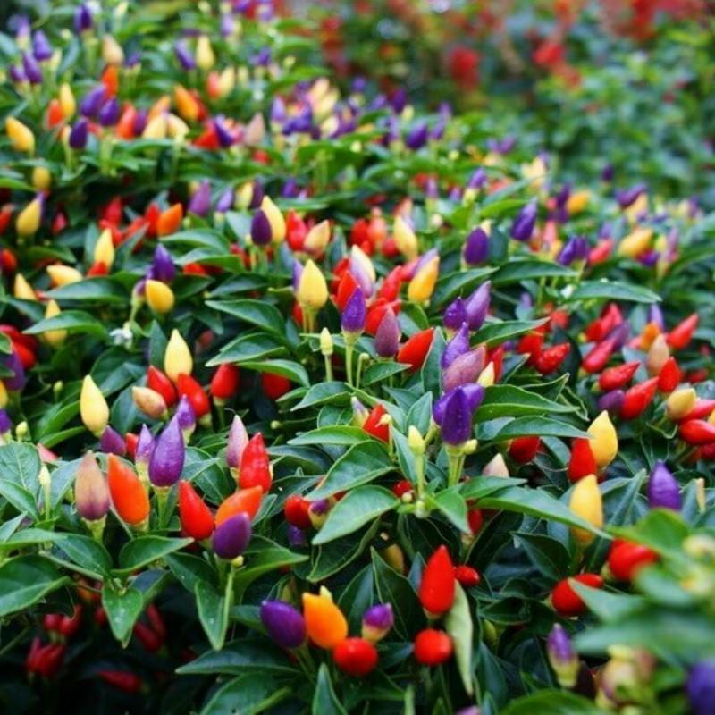 Semi Peperoncino Bolivian Rainbow 2.5 - 1