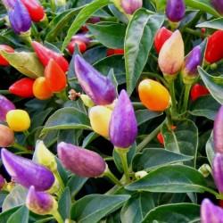 Lila Chili Samen Numex Twilight 1.95 - 2