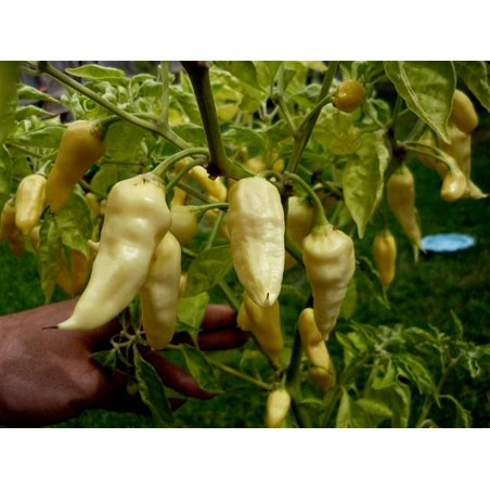 """Fatalii White"" Chili Seeds 2.5 - 4"