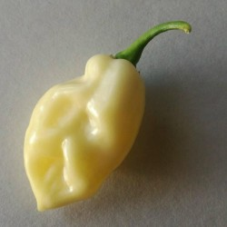 """Fatalii White"" Chili Seeds 2.5 - 5"