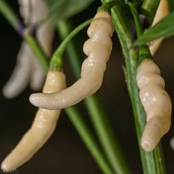 Graines de Piments Aribibi Gusano 2.5 - 1