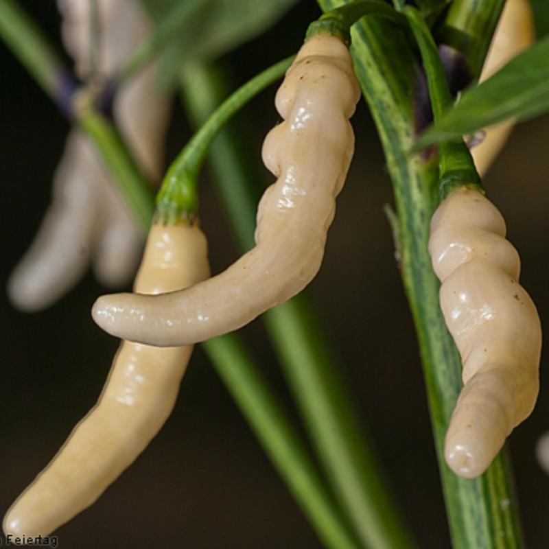 Semi Di Peperoncino Aribibi Gusano 2.5 - 1