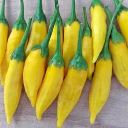 Lemon Drop Chili Seme (Capsicum baccatum) 1.5 - 2