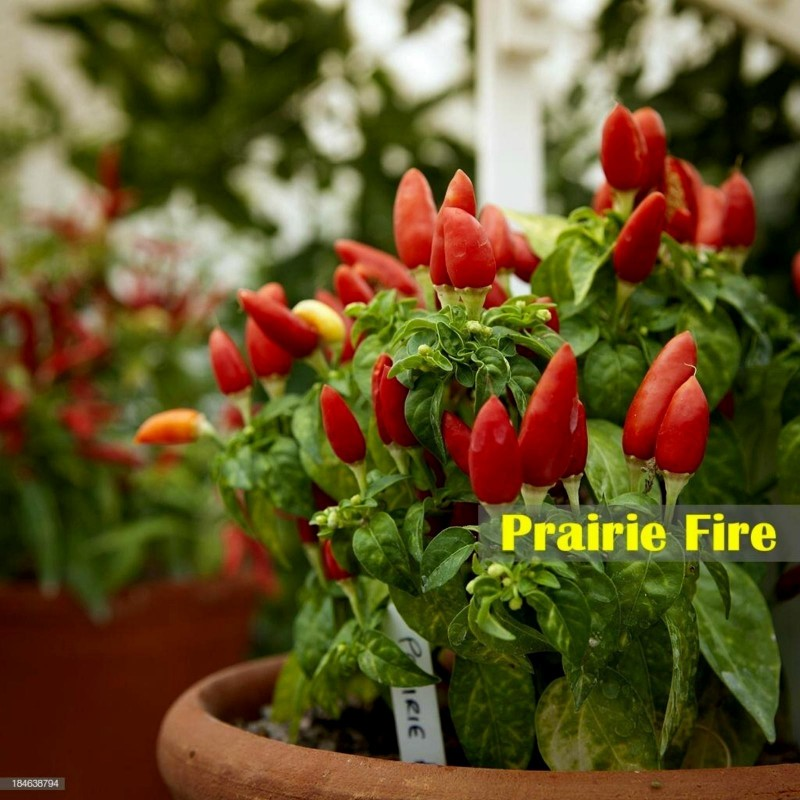 Prairie Fire Chilli Seeds 1.5 - 4