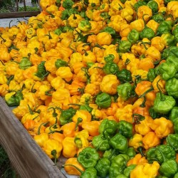 Semillas de Pimiento Yellow Scotch Bonnet 2 - 3
