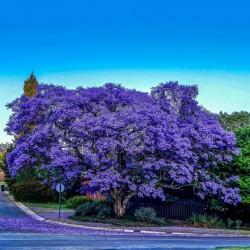 Blue Jacaranda Seeds