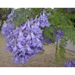 Blue Jacaranda Seeds 2.5 - 3