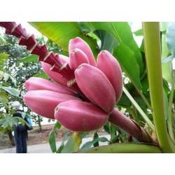 Banana Musa Ornata Seme - Purpurni Cvet
