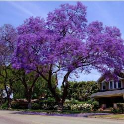 Jacaranda Seme (Jacaranda mimosifolia) 2.5 - 7