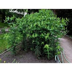 Caper Spurge or Paper Spurge Seeds 2.45 - 1