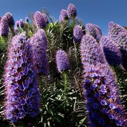 Blauer Natternkopf Samen - Stolz von Madeira 1.5 - 2