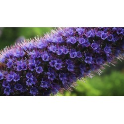 Pride Of Madeira Seeds 1.5 - 10