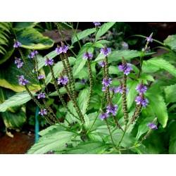 Σπόροι Βερβένα - Ιεροβότανο βότανο (Verbena officinalis) 1.75 - 2