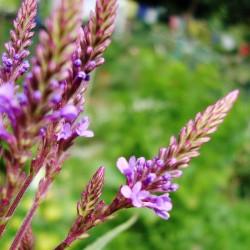 Σπόροι Βερβένα - Ιεροβότανο βότανο (Verbena officinalis) 1.75 - 3