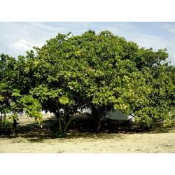 Semi di Anacardio - Cashew (Anacardium occidentale L.)