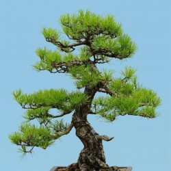 Bonsai Seeds (Japanese Red...