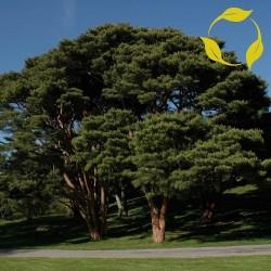 Semillas Bonsai (Japanese Red Pine) 1.5 - 1