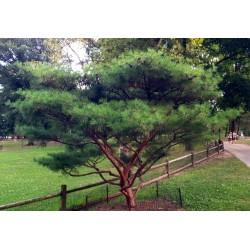Σπόροι Ιαπωνικό Πεύκο Bonsai (Pinus densiflora) 1.5 - 2