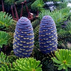Siberian pine Seeds 3.95 - 7