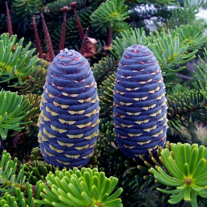 Samen Sibirische Zeder (pinus sibirica) 3.95 - 7