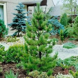 Graines de Pin de Sibérie (Pinus sibirica) 3.95 - 3