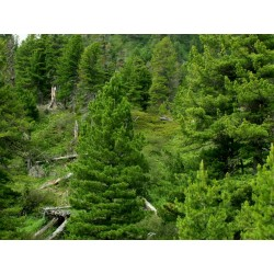 Graines de Pin de Sibérie (Pinus sibirica) 3.95 - 4