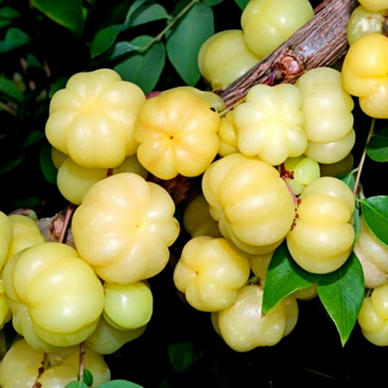 Star Gooseberry Seeds (Phyllanthus acidus) 2.049999 - 7