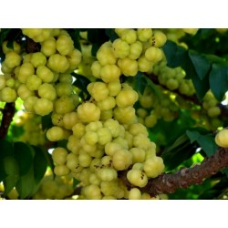 Star Gooseberry Seeds (Phyllanthus acidus) 2.049999 - 4