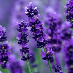 True Lavender Seeds