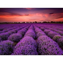 True Lavender Seeds 2 - 3