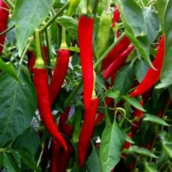 Σπόροι πιπεριά Τσίλι Taeyang Medium 1.85 - 1