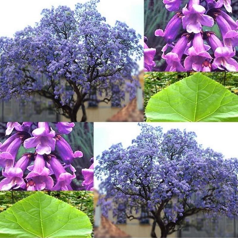 20 Samen Paulownia elongata Paulonia elongata G
