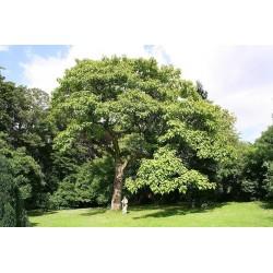 Kaiserbaum Samen 1.95 - 1