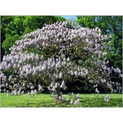 Kejsarträd Frön (Paulownia tomentosa) 1.95 - 3