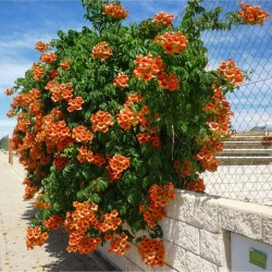 Trumpet vine or Trumpet creeper Seeds 1.95 - 1