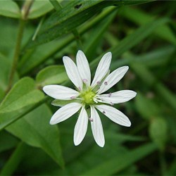 Chickweed Seeds (Stellaria Media) 1.55 - 2