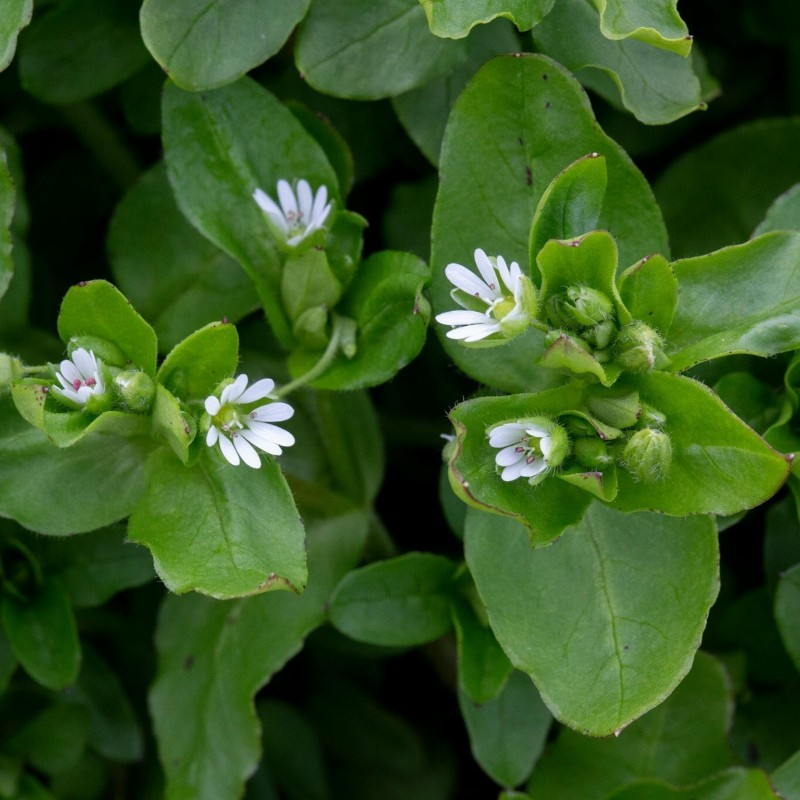 Chickweed Seeds (Stellaria Media) 1.55 - 1