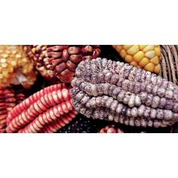 "Peruvian Black Violet White ""K'uyu Chuspi"" Corn Seeds 2.45 - 9"