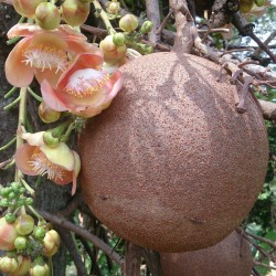 Cannonball Tree Seeds...
