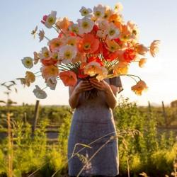 Graines de Ornemental Papaver Shirley Poppy 2.05 - 4