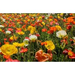 Graines de Ornemental Papaver Shirley Poppy 2.05 - 3
