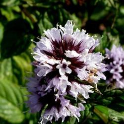 Semillas de Menta Piperita, Monte Yuyo 2.5 - 2