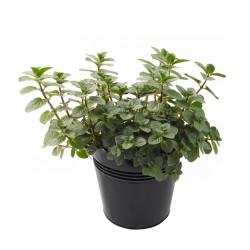 Pfefferminze Samen - Arzneipflanze des Jahres 2.5 - 3