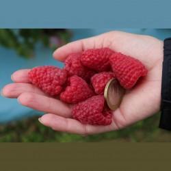 Semillas de Frambuesa (Rubus idaeus) 1.95 - 1