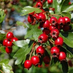 Semillas Espino albar o Majuelo planta medicinal 1.75 - 2