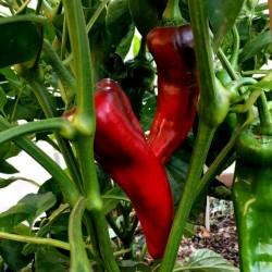 CORNO DI TORO ROSSO Paprika Samen 2 - 2