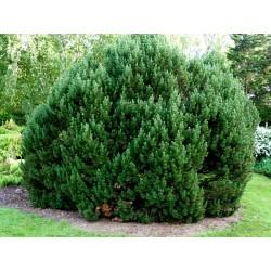 Semi di Pino mugo Bonsai (Pinus mugo) 1.5 - 2