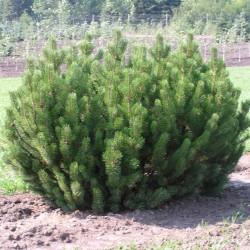 Mountain Pine Bonsai Seme 1.5 - 3